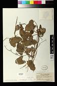 view Aristolochia zollingeriana Miq. digital asset number 1