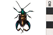 view Frog-legged Leaf Beetle digital asset number 1