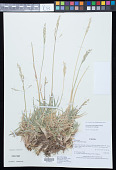 view Nicoraepoa pugionifolia (Speg.) Soreng & L.J. Gillespie digital asset number 1