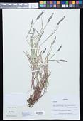 view Alopecurus aequalis Sobol. digital asset number 1