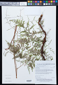 view Wibelia denticulata (Burm. f.) M. Kato & Tsutsumi digital asset number 1