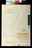 view Panicum teretifolium Hack. digital asset number 1