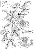 view Passiflora exura Feuillet digital asset number 1