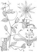 view Passiflora compar Feuillet digital asset number 1