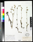 view Senecio ampullaceus Hook. digital asset number 1