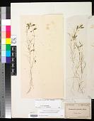 view Potamogeton bicupulatus Fernald digital asset number 1