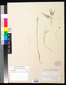 view Potamogeton confervoides Rchb. digital asset number 1