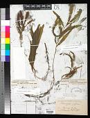 view Potamogeton alpinus Balb. digital asset number 1