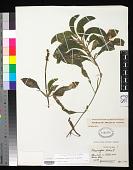 view Potamogeton amplifolius Tuckerm. digital asset number 1