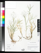 view Muhlenbergia asperifolia (Nees & Meyen ex Trin.) Parodi digital asset number 1