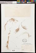 view Cynodon transvaalensis Burtt Davy digital asset number 1