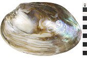 view Giant Freshwater Clam digital asset number 1
