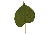 view American Basswood digital asset number 1