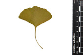 view Ginkgo, Maidenhair Tree digital asset number 1