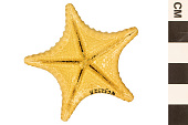 view Cookie Sea Star, Sea Star digital asset number 1