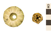 view Green Sea Urchin digital asset number 1