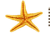 view Ochre Star digital asset number 1