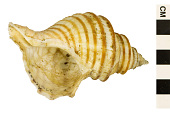 view Wrinkle Whelk, New England Neptune, New England Neptune, New England Neptune or Wrinkle Whelk digital asset number 1