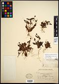 view Mimulus kelloggii (Curran ex Greene) Curran ex A. Gray digital asset number 1
