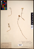 view Talinum angustissimum (Engelm.) Wooton & Standl. digital asset number 1