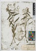 view Pedicularis racemosa Douglas ex Benth. digital asset number 1