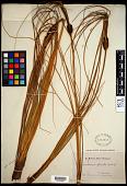 view Desmoschoenus spiralis (A. Rich.) Hook. f. digital asset number 1