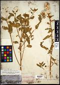 view Sphaeralcea angustifolia var. oblongifolia (A. Gray) Shinners digital asset number 1