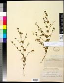 view Acmispon americanus (Nutt.) Rydb. digital asset number 1
