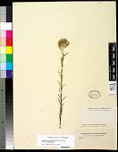 view Eriastrum densifolium (Benth.) H. Mason subsp. densifolium digital asset number 1