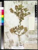 view Pediomelum esculentum (Pursh) Rydb. digital asset number 1
