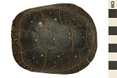 view Spotted Turtle digital asset number 1