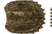 view Alligator Snapping Turtle, Alligator Snapping Turtle digital asset number 1