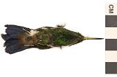 view Copper-rumped Hummingbird digital asset number 1