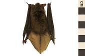 view Little Brown Bat digital asset number 1