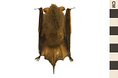 view Eastern Pipistrelle digital asset number 1
