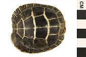 view Eastern Painted Turtle digital asset number 1