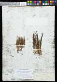 view Potamogeton filiformis var. alpinus Almquist digital asset number 1