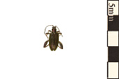 view Aquatic Leaf Beetle digital asset number 1