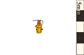 view Twelve-spotted Asparagus Beetle digital asset number 1