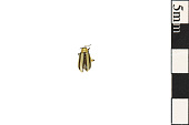 view Striped Cucumber Beetle digital asset number 1