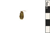 view Elm Leaf Beetle digital asset number 1