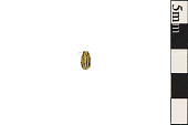 view Case-bearing Leaf Beetle, Seed Beetle digital asset number 1