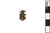 view Clover Leaf Weevil digital asset number 1