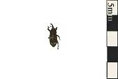 view White Pine Weevil digital asset number 1