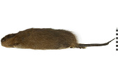 view Common Muskrat, Muskrat digital asset number 1