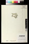 view Anadyomene pavonina (J. Agardh) Wille digital asset number 1