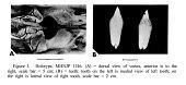 view Mesoplodon peruvianus Reyes et al., 1991 digital asset number 1