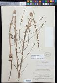 view Stephanomeria virgata subsp. pleurocarpa (Greene) Gottlieb digital asset number 1