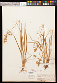 view Anthoxanthum nitens (Weber) Schouten & Veldkamp digital asset number 1
