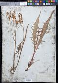 view Crepis acuminata Nutt. digital asset number 1